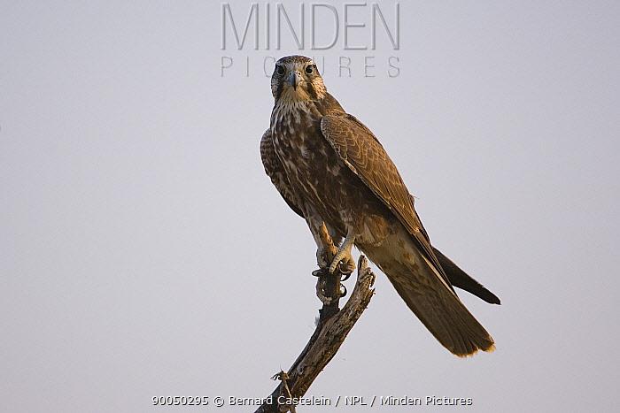 Laggar Falcon (Falco jugger) perched, Tal Chapar Sanctuary, Rajasthan, India  -  Bernard Castelein/ npl
