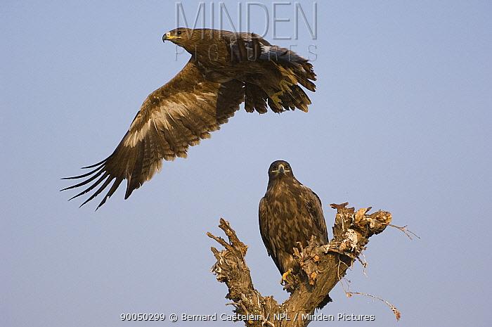 Steppe Eagle (Aquila nipalensis) taking off from perch, Bikaner, Rajasthan, India  -  Bernard Castelein/ npl
