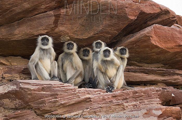 Hanuman langur (Semnopithecus, Presbytis entellus) group on rocks, Rajasthan, India  -  Bernard Castelein/ npl