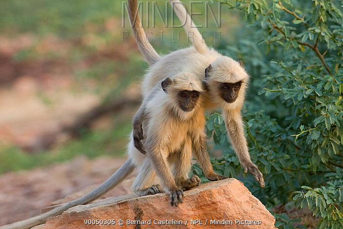Hanuman langur (Semnopithecus, Presbytis entellus) playing, Rajasthan, India  -  Bernard Castelein/ npl