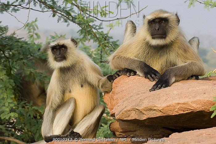 Hanuman langur (Semnopithecus, Presbytis entellus) two sitting on rock, Rajasthan, India  -  Bernard Castelein/ npl
