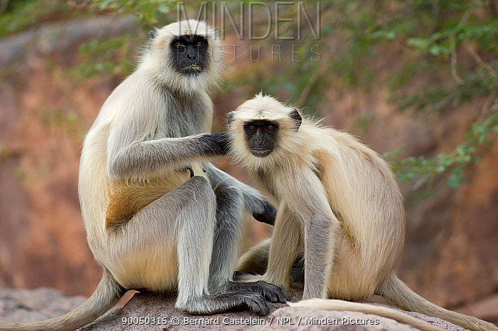 Hanuman langur (Semnopithecus, Presbytis entellus) two sitting on rock grooming, Rajasthan, India  -  Bernard Castelein/ npl