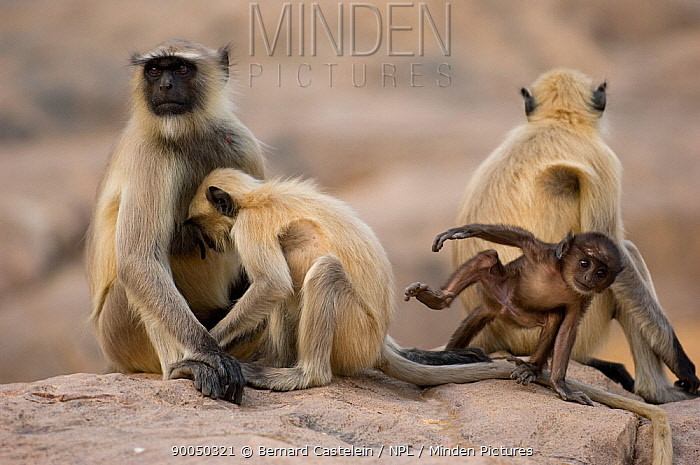 Hanuman langur (Semnopithecus, Presbytis entellus) family group on rock, Rajasthan, India  -  Bernard Castelein/ npl