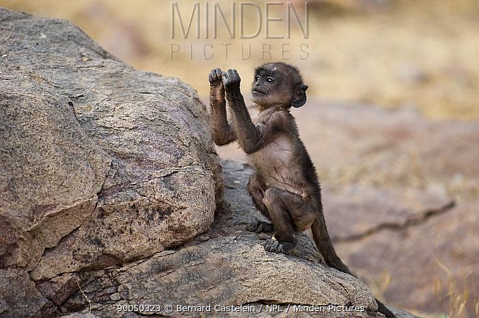 Hanuman langur (Presbytis, Semnopithecus entellus) baby exploring rock, Rajasthan, India  -  Bernard Castelein/ npl