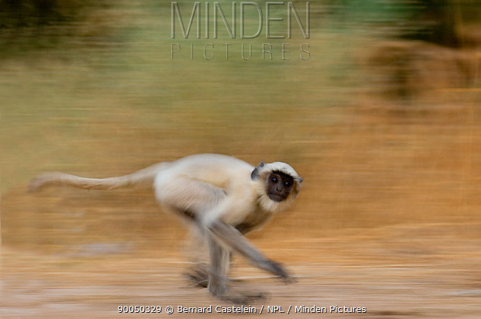 Hanuman langur (Presbytis, Semnopithecus entellus) running, Rajasthan, India  -  Bernard Castelein/ npl