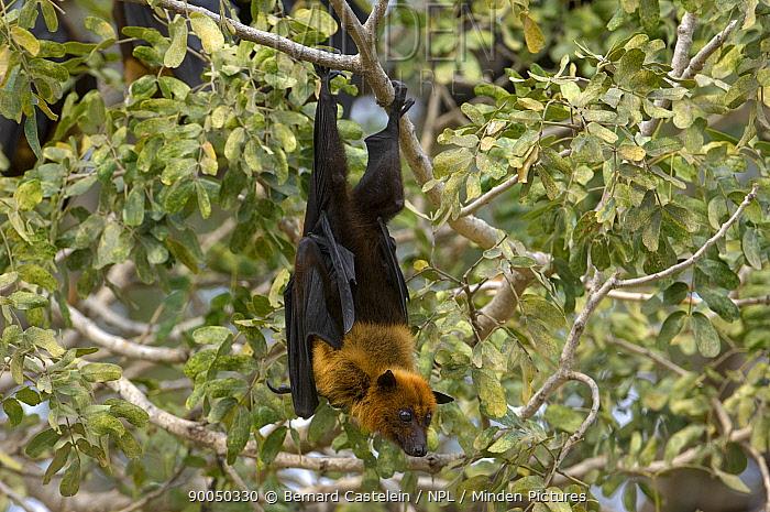 Indian Flying Fox (Pteropus giganteus) roosting in tree, Rajasthan, India  -  Bernard Castelein/ npl