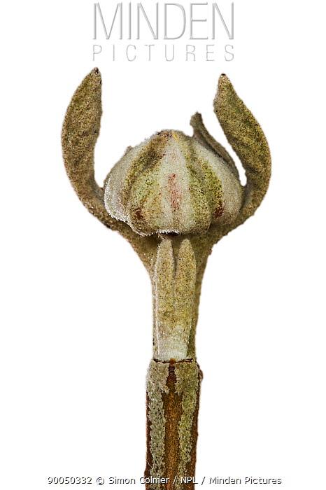Wayfaring tree (Viburnum lantana) bud opening on twig in winter, UK  -  Simon Colmer/ npl