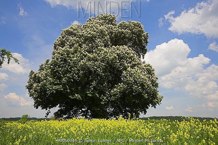 European Chestnut (Castanea sativa) flowering Somerset, United Kingdom  -  Simon Colmer/ npl