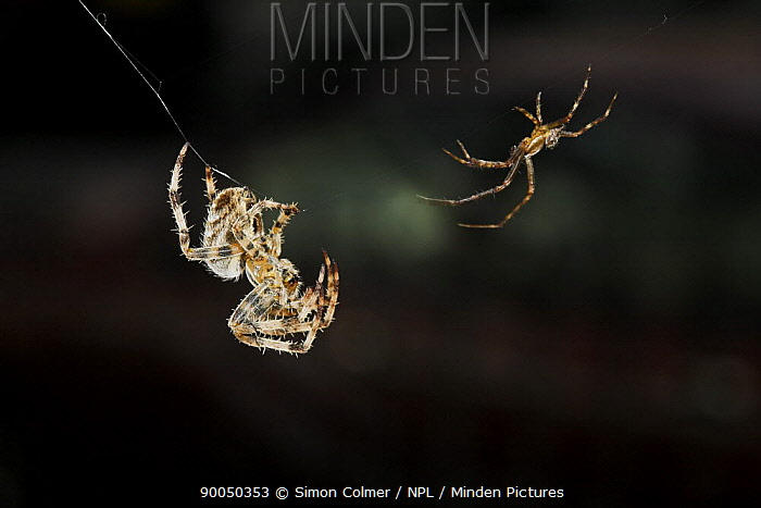 Garden Spider (Araneus diadematus) pair in courtship, male, smaller on right, testing signal line and approaching female, United Kingdom  -  Simon Colmer/ npl