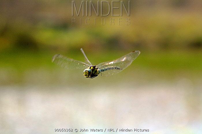 Migrant Hawker (Aeshna mixta) adult in flight over marshy pond, Somerset, United Kingdom  -  John Waters/ npl