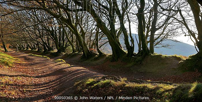 Ancient trackway, The Samaritan's Way, lined by beech trees (Fagus sylvatica) along ridge of the Quantock Hills, Somerset, UK, autumn 2008  -  John Waters/ npl