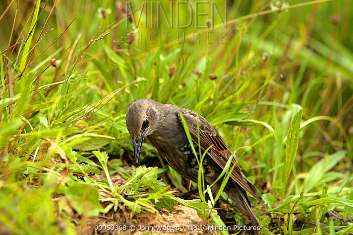 Common Starling (Sturnus vulgaris) anting, pecking at ant's nest to rub ants into plumage to clear parasites from feathers, juvenile, captive bird, Somerset, United Kingdom  -  John Waters/ npl