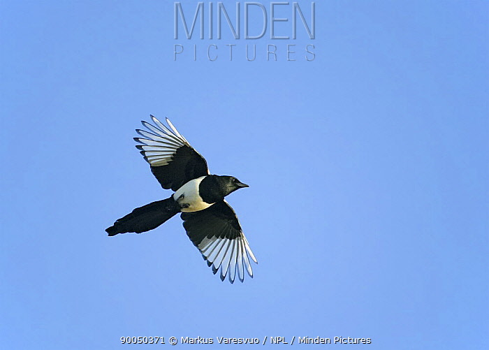 Black-billed Magpie (Pica pica) in flight, Helsinki, Finland  -  Markus Varesvuo/ npl