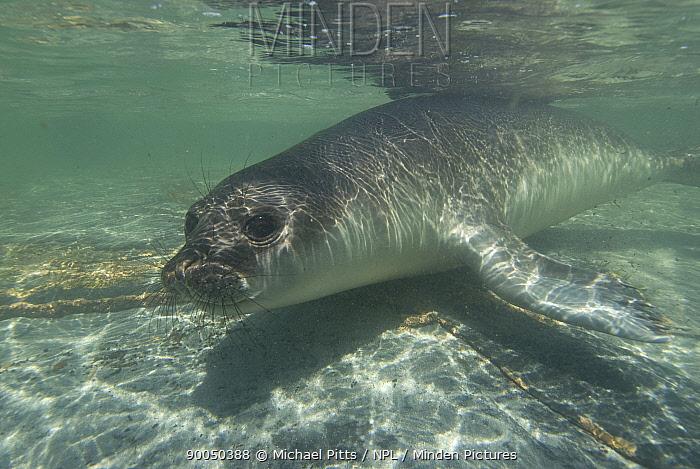 Southern Elephant Seal (Mirounga leonina) juvenile swimming underwater, Sealion island, Falkland Islands  -  Michael Pitts/ npl
