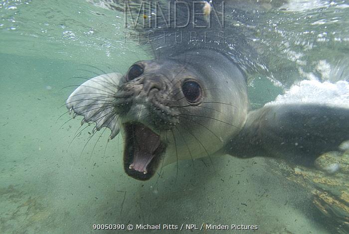 Southern Elephant Seal (Mirounga leonina) juvenile swimming underwater in defense posture, Sealion island, Falkland Islands  -  Michael Pitts/ npl