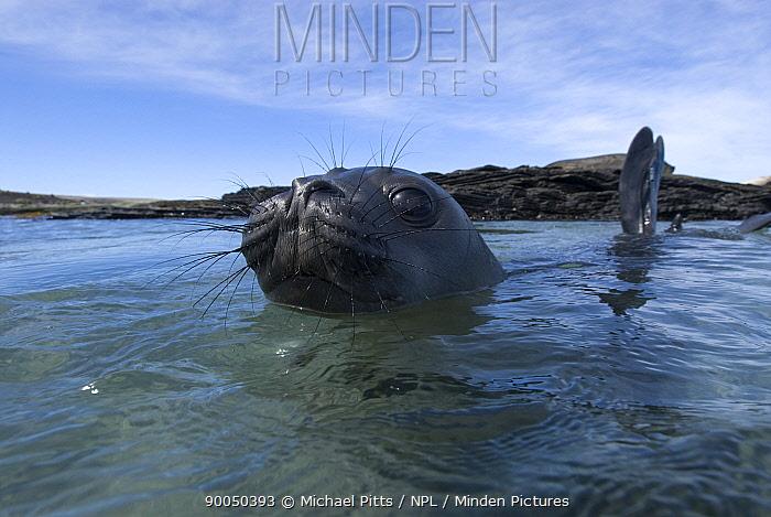 Southern Elephant Seal (Mirounga leonina) juvenile playing at surface, Sealion island, Falkland Islands  -  Michael Pitts/ npl