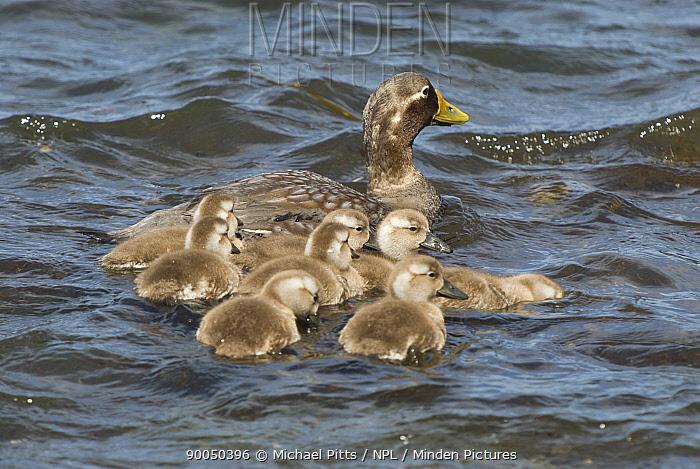 Kelp Goose (Chloephaga hybrida) female with goslings on water, Sealion Island, Falkland Islands  -  Michael Pitts/ npl