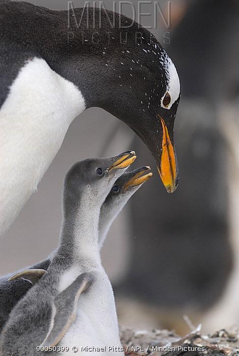 Gentoo Penguin (Pygoscelis papua) chicks begging adult for food, Sealion Island, Falkland Islands  -  Michael Pitts/ npl