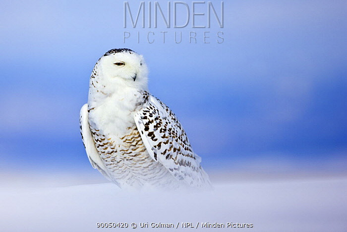 Snowy Owl (Nyctea scandiaca) portrait on snow, St Lawrence River Delta, Quebec, Canada  -  Uri Golman/ npl
