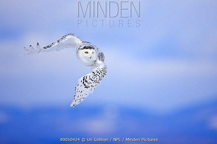 Snowy Owl (Nyctea scandiaca) in flight over snow, St Lawrence River Delta, Quebec, Canada  -  Uri Golman/ npl