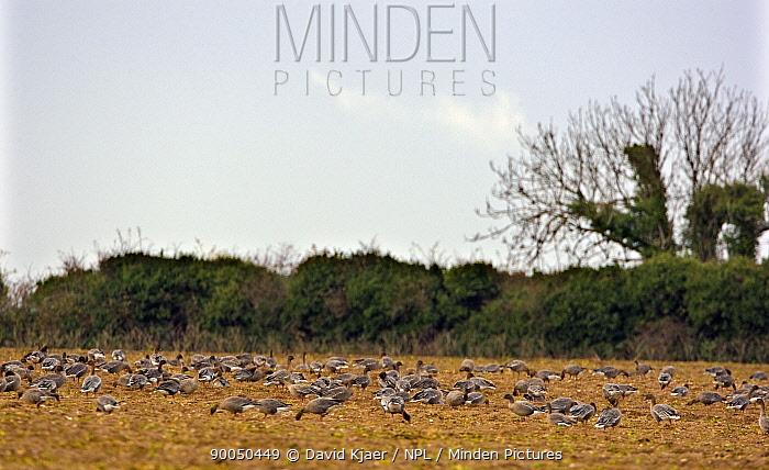 Pink Footed Goose (Anser fabalis brachyrhynchus) flock feeding on field, Norfolk, England  -  David Kjaer/ npl