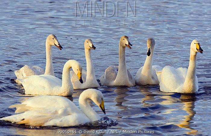 Whooper Swan (Cygnus cygnus) family group on the Ouze Washes at Welney, Norfolk, United Kingdom  -  David Kjaer/ npl