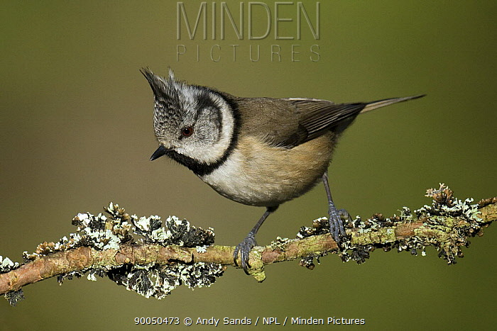 Crested Tit (Parus cristatus) perched on lichen covered twig, Cairngorms, Scotland  -  Andy Sands/ npl
