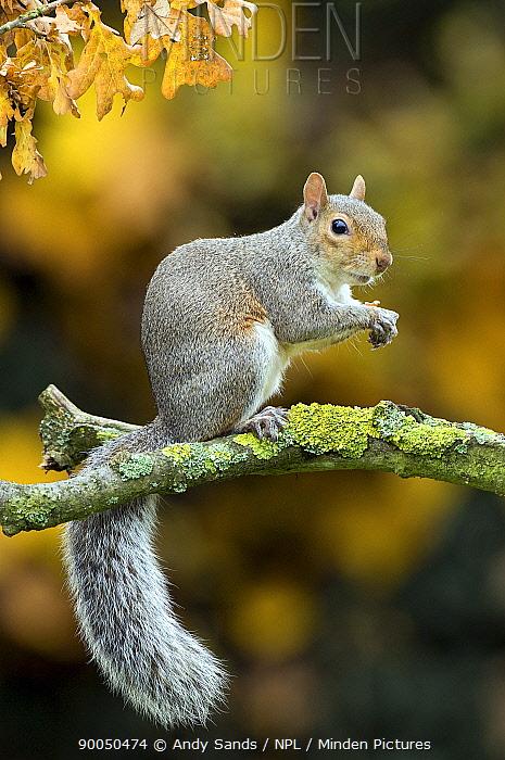 Eastern Gray Squirrel (Sciurus carolinensis) sitting in oak tree in autumn, Hertfordshire, England  -  Andy Sands/ npl