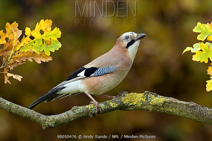 Eurasian Jay (Garrulus glandarius) perched in Oak tree in autumn, Hertfordshire, England  -  Andy Sands/ npl