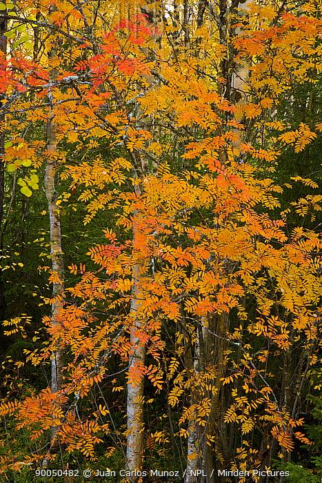 Rowan tree in taiga woodland in autumn, Laponia, Lappland, Finland  -  Juan Carlos Munoz/ npl