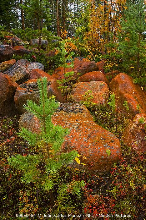 Rocks covered in lichen in taiga woodland, Laponia, Lappland, Finland  -  Juan Carlos Munoz/ npl