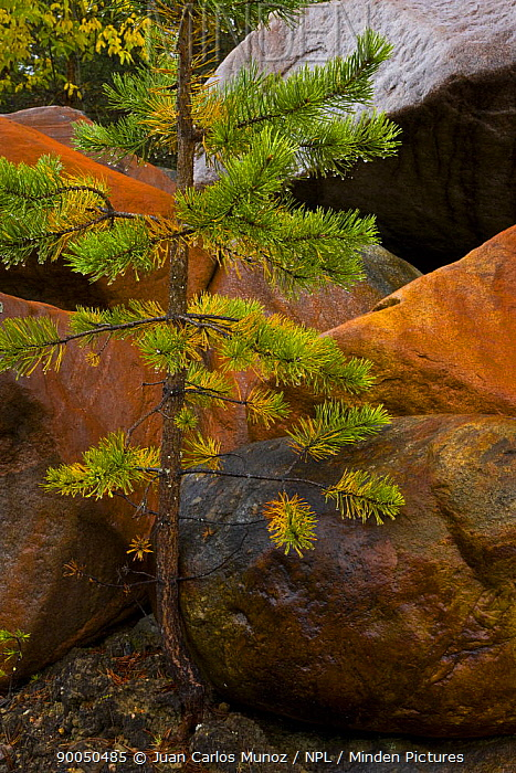Young coniferous tree growing amongst rocks in taiga woodland, Laponia, Lappland, Finland  -  Juan Carlos Munoz/ npl