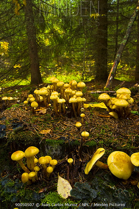 Fungus (Pholiota alnicola) growing in taiga woodland, Laponia, Lappland, Finland  -  Juan Carlos Munoz/ npl