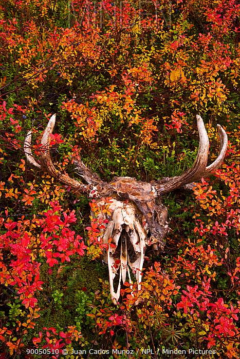 European Elk (Alces alces) skull and antlers amongst taiga woodland vegetation, Laponia, Lappland, Finland  -  Juan Carlos Munoz/ npl