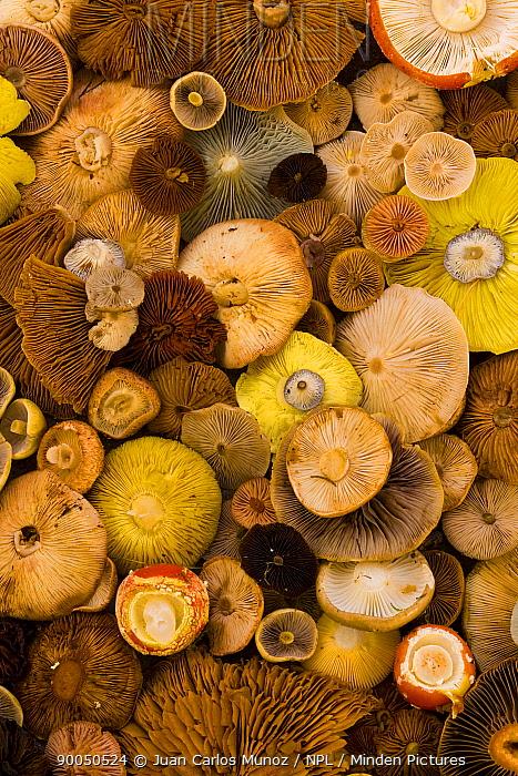 Various species of cut toadstools harvested from taiga woodland, gills upward, Laponia, Lappland, Finland  -  Juan Carlos Munoz/ npl