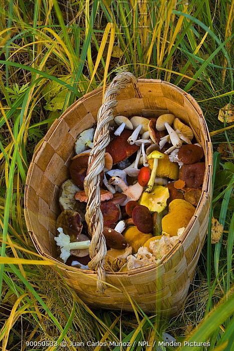 Basket full of various species of fungus harvested from taiga woodland, Laponia, Lappland, Finland  -  Juan Carlos Munoz/ npl