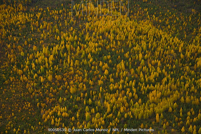 Aerial view of taiga woodland in autumn, Laponia, Lappland, Finland  -  Juan Carlos Munoz/ npl