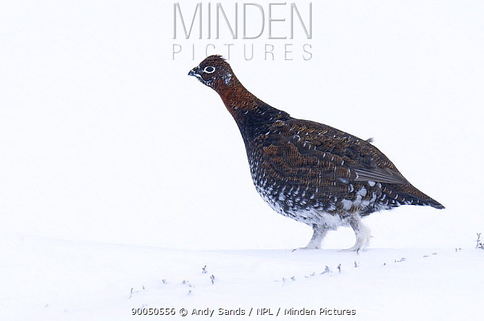 Red Grouse (Lagopus lagopus scoticus) female walking against strong head wind on snow covered moorland, Cairngorms, Scotland United Kingdom  -  Andy Sands/ npl
