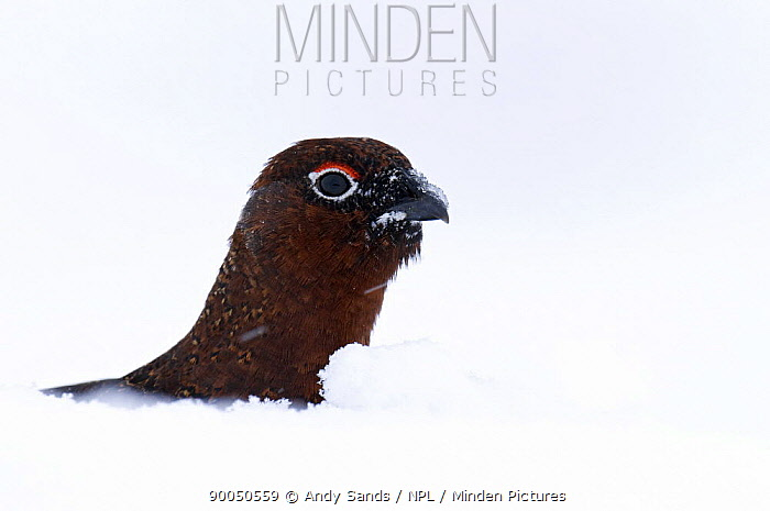 Red Grouse (Lagopus lagopus scoticus) head showing above deep snow, Cairngorms, Scotland United Kingdom  -  Andy Sands/ npl