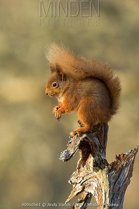Eurasian Red Squirrel (Sciurus vulgaris) on old pine log, Cairngorms, Scotland United Kingdom  -  Andy Sands/ npl