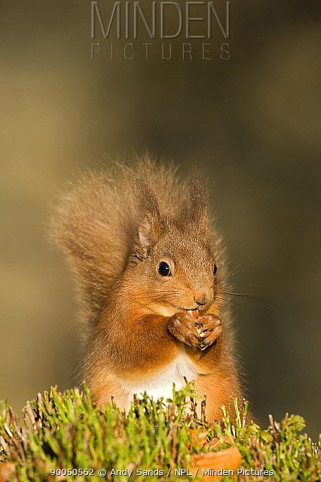 Eurasian Red Squirrel (Sciurus vulgaris) feeding, Cairngorms, Scotland United Kingdom  -  Andy Sands/ npl