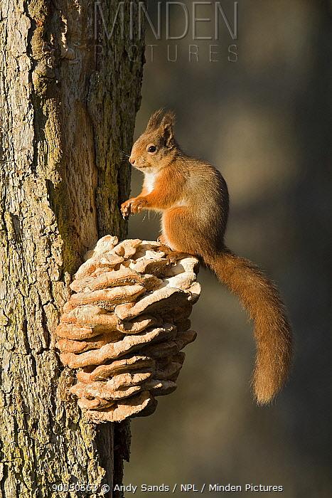 Eurasian Red Squirrel (Sciurus vulgaris) on bracket fungus, Cairngorms, Scotland United Kingdom  -  Andy Sands/ npl