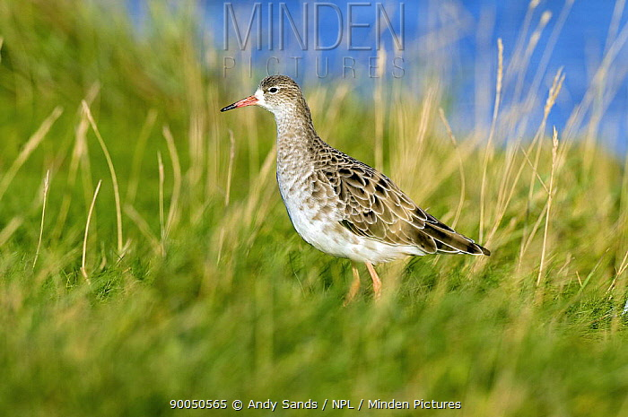 Ruff (Philomachus pugnax) adult in winter plumage, Lincolnshire, England  -  Andy Sands/ npl
