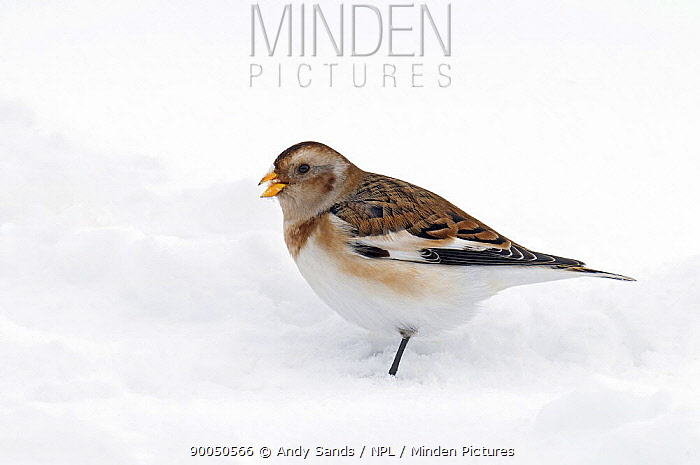 Snow Bunting (Plectrophenax nivalis) in snow, Cairngorms, Scotland United Kingdom  -  Andy Sands/ npl