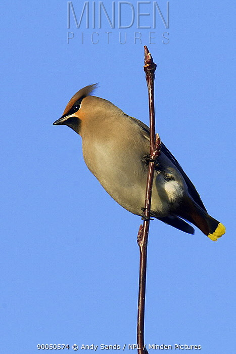 Bohemian Waxwing (Bombycilla garrulus) perched on top of Rowan tree, Hertfordshire, England  -  Andy Sands/ npl