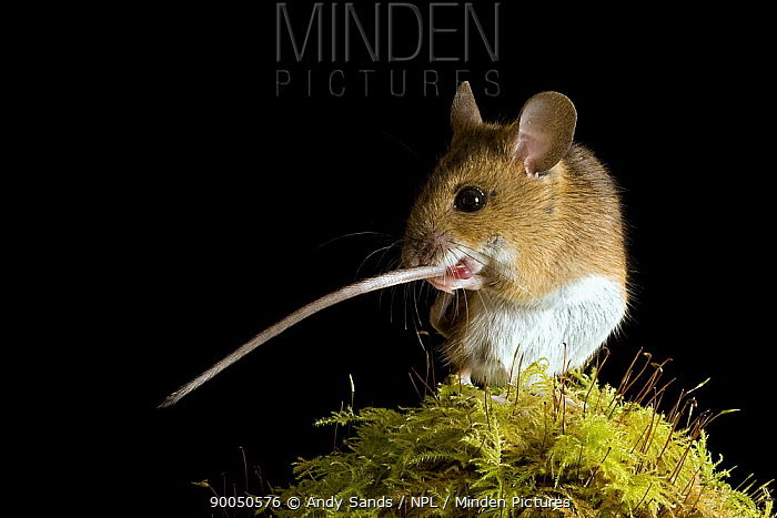 Wood Mouse (Apodemus sylvaticus) cleaning tail, Captive, United Kingdom  -  Andy Sands/ npl