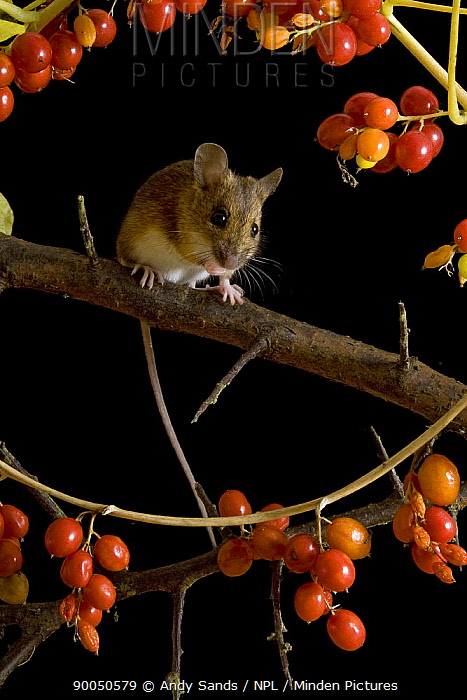 Wood Mouse (Apodemus sylvaticus) on Blackthorn with Black Bryony berries, Captive, United Kingdom  -  Andy Sands/ npl
