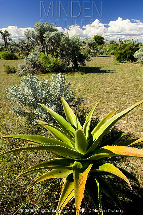 Spiny forest, South Madagascar  -  Inaki Relanzon/ npl