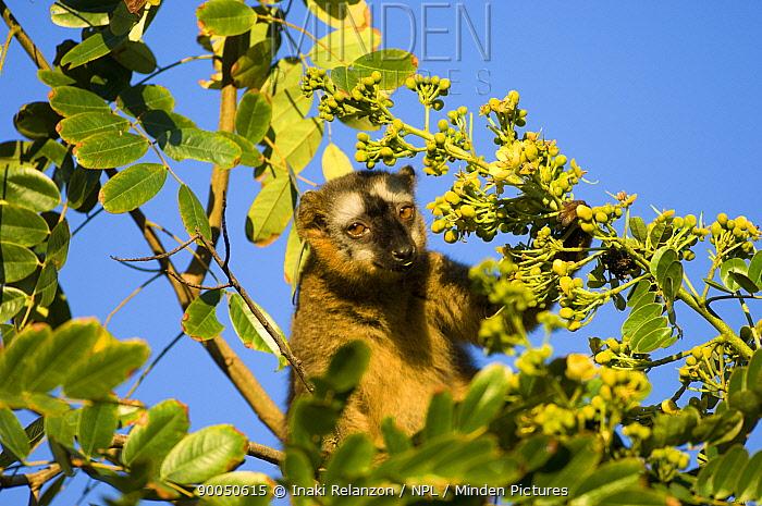 Red fronted brown lemur (Eulemur rufus, Lemur fulvus rufus) feeding on fruit in tree, Berenty Private Reserve, South Madagascar  -  Inaki Relanzon/ npl