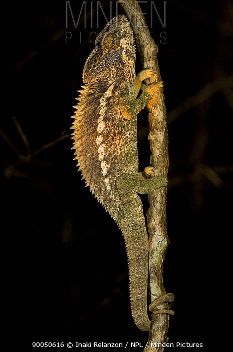 Jewel chameleon (Furcifer, Chamaeleo lateralis) climbing branch at night, Berenty Private Reserve, South Madagascar  -  Inaki Relanzon/ npl